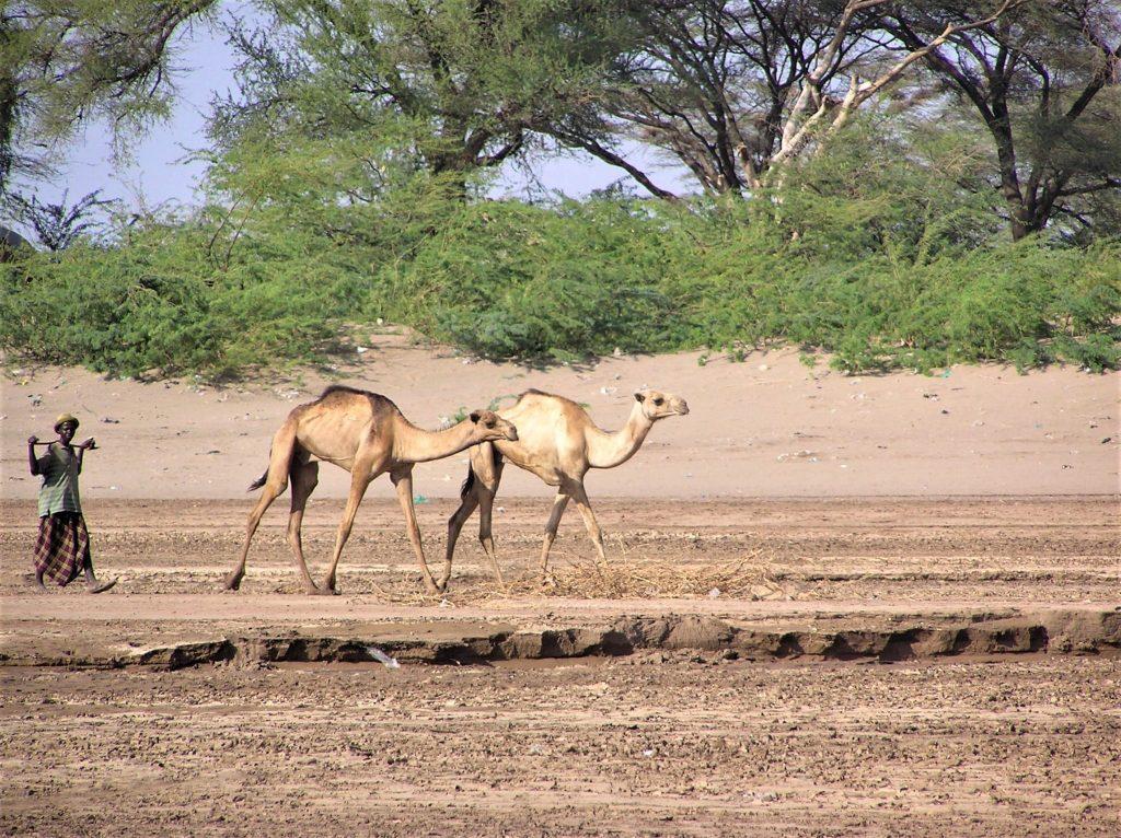 Kakuma camels 2